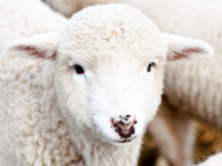 Lammführungen in der Naturschutzstation