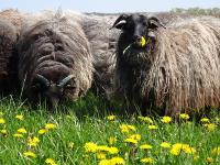Filzen für Erwachsene mit gefärbter Schafwolle -Anfängerkurs-